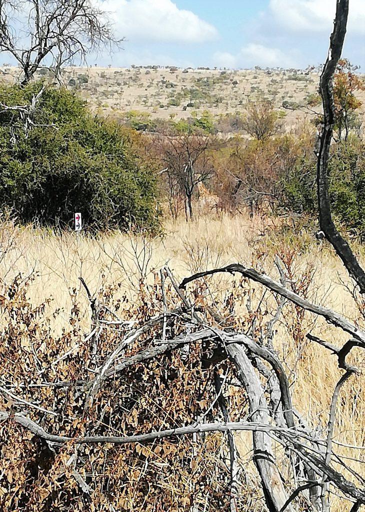 Distant giraffe along Archeology Trail