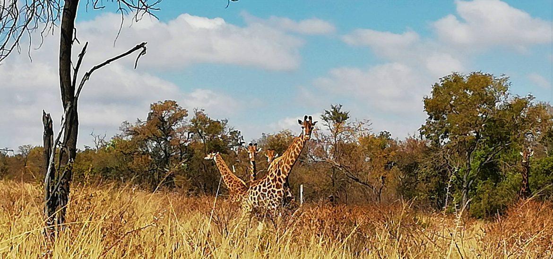 Hiking Giraffes Windy Brow Cullinan