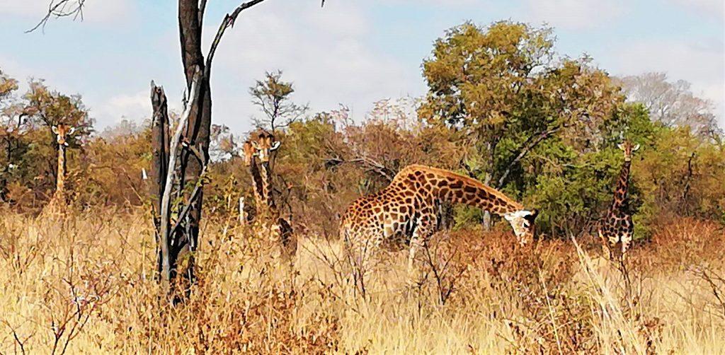 Grazing giraffe Windy Brow
