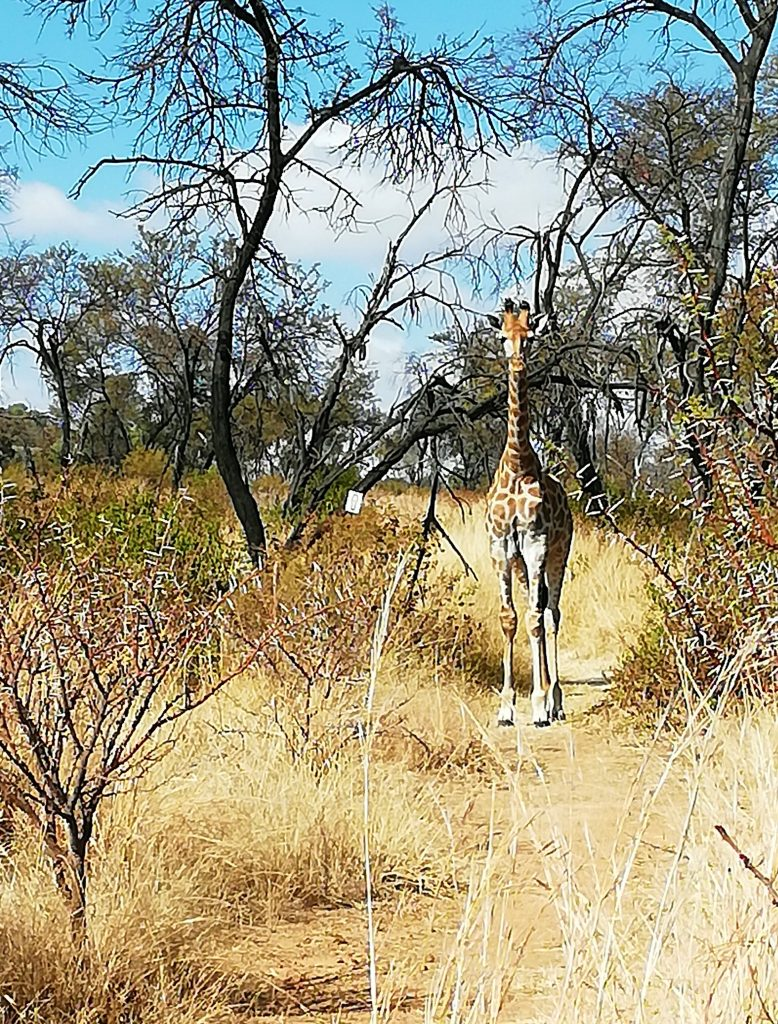 Giraffe nearby on hiking trail