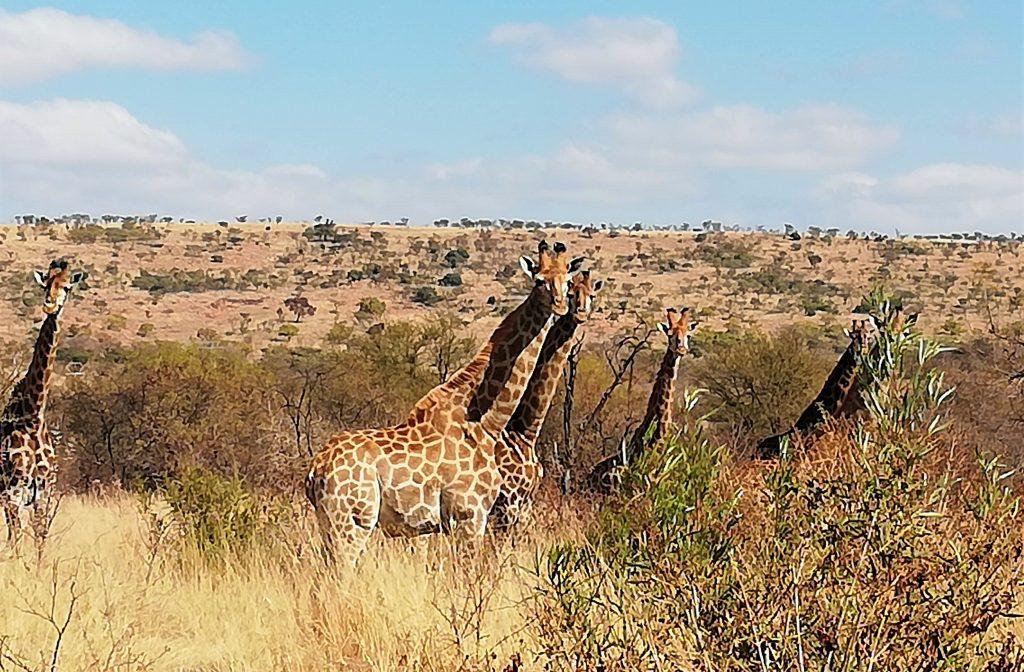 Several giraffe on Archeology Trail
