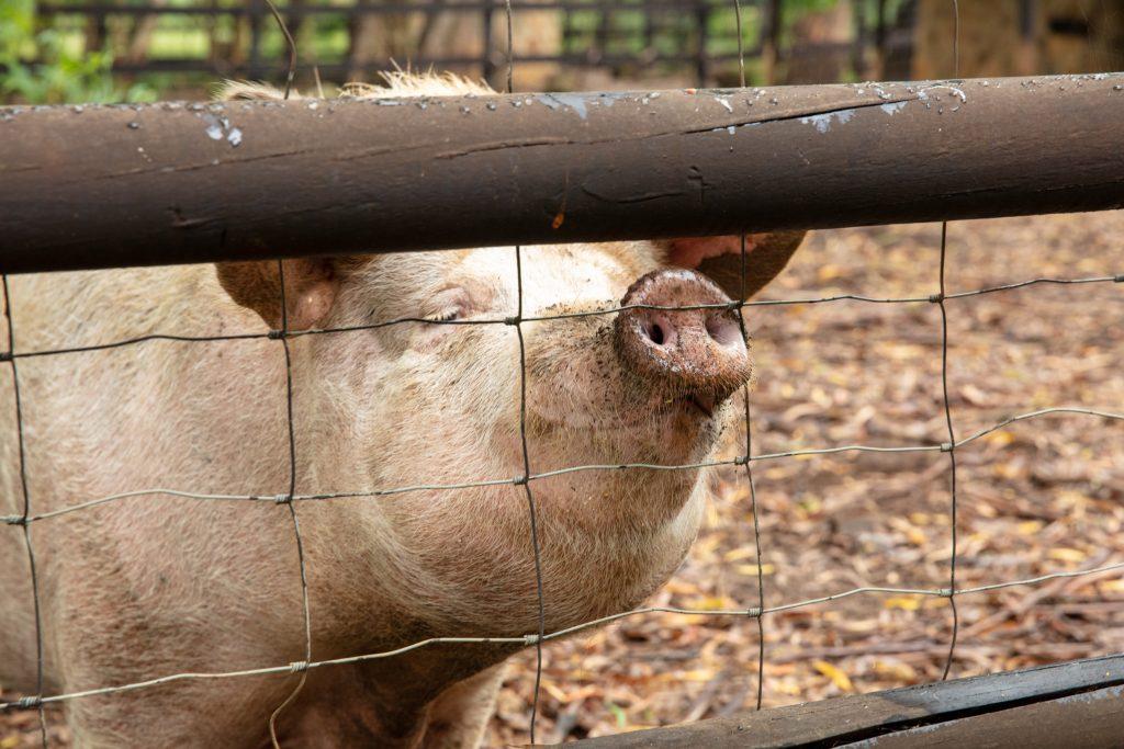 Elands Valley pig