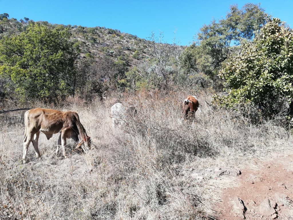 Cows at Hennops